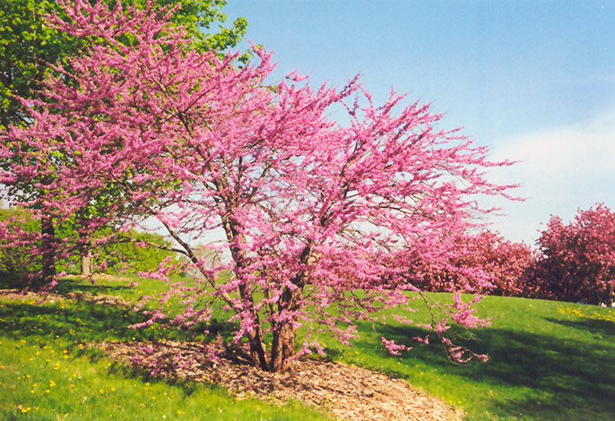 Northern Strain Redbud Cercis Canadensis At Schulte S Greenhouse Nursery