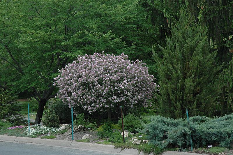 Dwarf korean lilac tree form syringa meyeri palibin tree form
