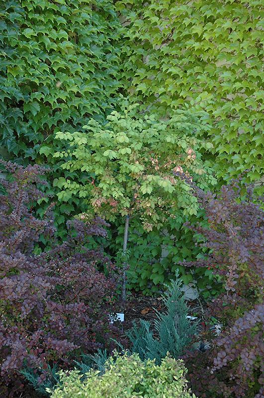 Burning Bush (tree form) (Euonymus alatus '(tree form)') in St ...