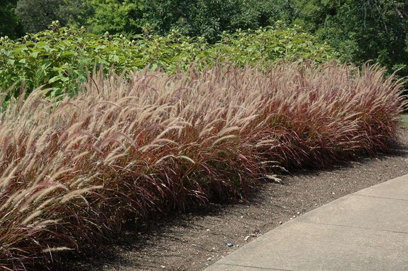 Purple fountain grass pennisetum setaceum 39 rubrum 39 in st for Ornamental grass with purple plumes