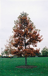Swamp White Oak (Quercus bicolor) at Schulte's Greenhouse & Nursery