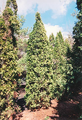 Pyramidal Arborvitae (Thuja occidentalis 'Fastigiata') at Schulte's Greenhouse & Nursery