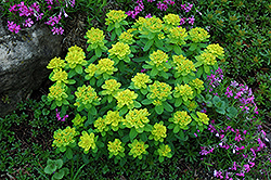 Cushion Spurge (Euphorbia polychroma) at Schulte's Greenhouse & Nursery