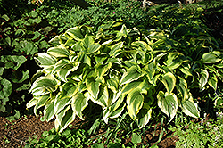 Gold-Variegated Mountain Hosta (Hosta montana 'Aureomarginata') at Schulte's Greenhouse & Nursery