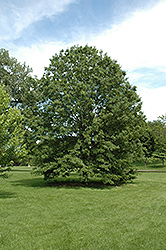 Northern Pin Oak (Quercus ellipsoidalis) at Schulte's Greenhouse & Nursery