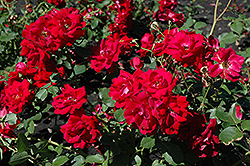 Champlain Rose (Rosa 'Champlain') at Schulte's Greenhouse & Nursery