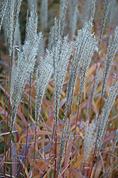 Flame Grass (Miscanthus sinensis 'Purpurascens') at Schulte's Greenhouse & Nursery