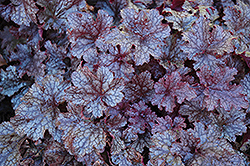 Plum Pudding Coral Bells (Heuchera 'Plum Pudding') at Schulte's Greenhouse & Nursery