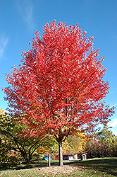 Autumn Blaze Maple (Acer x freemanii 'Jeffersred') at Schulte's Greenhouse & Nursery