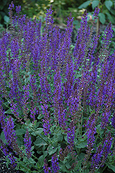 May Night Sage (Salvia x sylvestris 'May Night') at Schulte's Greenhouse & Nursery
