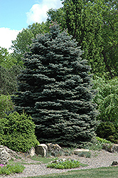 Fat Albert Blue Spruce (Picea pungens 'Fat Albert') at Schulte's Greenhouse & Nursery