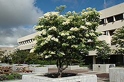 Ivory Silk Japanese Tree Lilac (Syringa reticulata 'Ivory Silk') at Schulte's Greenhouse & Nursery