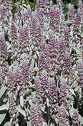 Lamb's Ears (Stachys byzantina) at Schulte's Greenhouse & Nursery