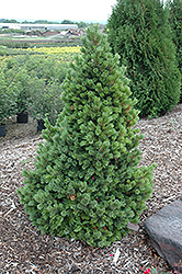 Sherwood Compact Bristlecone Pine (Pinus aristata 'Sherwood Compact') at Schulte's Greenhouse & Nursery