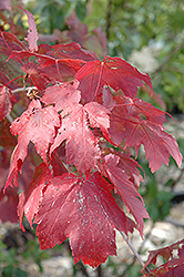 Scarlet Jewell™ Red Maple (Acer rubrum 'Bailcraig') at Schulte's Greenhouse & Nursery