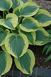 Liberty Hosta (Hosta 'Liberty') at Schulte's Greenhouse & Nursery