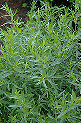 French Tarragon (Artemisia dracunculus 'Sativa') at Schulte's Greenhouse & Nursery