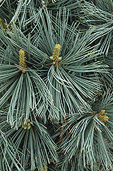 Extra Blue Limber Pine (Pinus flexilis 'Extra Blue') at Schulte's Greenhouse & Nursery