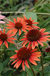 Big Sky Sundown Coneflower (Echinacea 'Big Sky Sundown') at Schulte's Greenhouse & Nursery