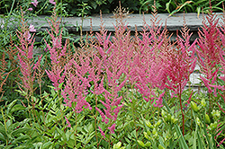 Visions in Pink Chinese Astilbe (Astilbe chinensis 'Visions in Pink') at Schulte's Greenhouse & Nursery