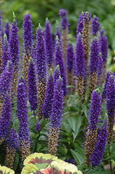 Royal Candles Speedwell (Veronica spicata 'Royal Candles') at Schulte's Greenhouse & Nursery