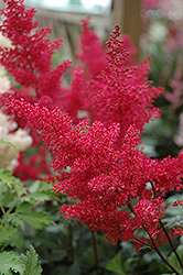 Montgomery Japanese Astilbe (Astilbe japonica 'Montgomery') at Schulte's Greenhouse & Nursery