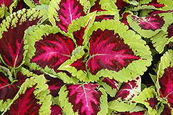 Kong Rose Coleus (Solenostemon scutellarioides 'Kong Rose') at Schulte's Greenhouse & Nursery
