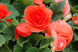 Nonstop® Deep Salmon Begonia (Begonia 'Nonstop Deep Salmon') at Schulte's Greenhouse & Nursery