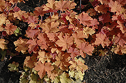 Caramel Coral Bells (Heuchera 'Caramel') at Schulte's Greenhouse & Nursery