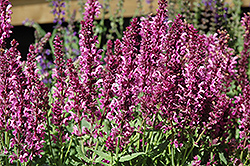 Pink Friesland Sage (Salvia nemorosa 'Pink Friesland') at Schulte's Greenhouse & Nursery