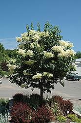 Snowdance™ Japanese Tree Lilac (Syringa reticulata 'Bailnce') at Schulte's Greenhouse & Nursery