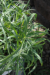 Baby Tut Umbrella Grass (Cyperus involucratus 'Baby Tut') at Schulte's Greenhouse & Nursery