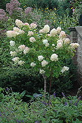 Limelight Hydrangea (tree form) (Hydrangea paniculata 'Limelight (tree form)') at Schulte's Greenhouse & Nursery