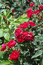 Northern Accents® Sigrid Rose (Rosa 'Sigrid') at Schulte's Greenhouse & Nursery