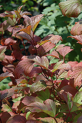Redwing Highbush Cranberry (Viburnum trilobum 'JN Select') at Schulte's Greenhouse & Nursery
