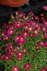 Winston Churchill Aster (Aster novi-belgii 'Winston Churchill') at Schulte's Greenhouse & Nursery