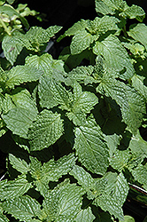 Mojito Mint (Mentha x villosa 'Mojito') at Schulte's Greenhouse & Nursery