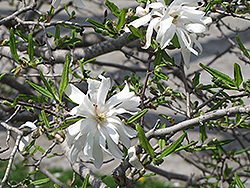 Royal Star Magnolia (Magnolia stellata 'Royal Star') at Schulte's Greenhouse & Nursery