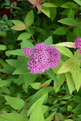 Double Play® Candy Corn® Spirea (Spiraea japonica 'NCSX1') at Schulte's Greenhouse & Nursery