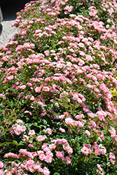 Oso Easy® Petit Pink (Rosa 'ZLEMarianneYoshida') at Schulte's Greenhouse & Nursery