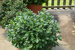 Low Scape® Mound Aronia (Aronia melanocarpa 'UCONNAM165') at Schulte's Greenhouse & Nursery