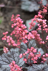 Timeless Treasure Coral Bells (Heuchera 'Timeless Treasure') at Schulte's Greenhouse & Nursery