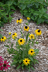 American Gold Rush Coneflower (Rudbeckia 'American Gold Rush') at Schulte's Greenhouse & Nursery