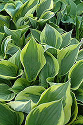 Twilight Hosta (Hosta 'Twilight') at Schulte's Greenhouse & Nursery