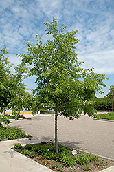 Majestic Skies™ Northern Pin Oak (Quercus ellipsoidalis 'Bailskies') at Schulte's Greenhouse & Nursery
