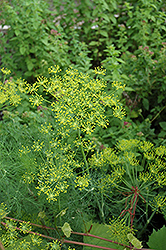 Dill (Anethum graveolens) at Schulte's Greenhouse & Nursery