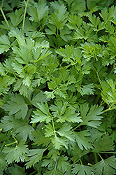 Italian Parsley (Petroselinum crispum 'var. neapolitanum') at Schulte's Greenhouse & Nursery
