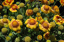 Arizona Apricot Blanket Flower (Gaillardia x grandiflora 'Arizona Apricot') at Schulte's Greenhouse & Nursery