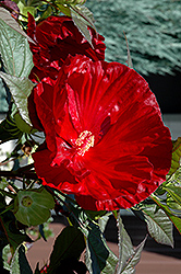 Cranberry Crush Hibiscus (Hibiscus 'Cranberry Crush') at Schulte's Greenhouse & Nursery