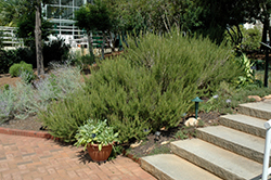 Rosemary (Rosmarinus officinalis) at Schulte's Greenhouse & Nursery
